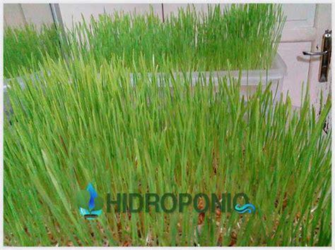 Mold Angkue Daun Besar 11 Cm tips menaman wheatgrass page 6 of 7 hidroponiq