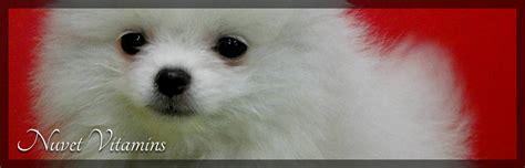 my pomeranian is limping pomeranians puppy breeder sales breezy hill pomsbreezy hill poms