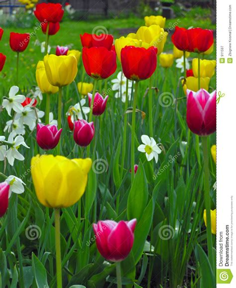 tulips in a garden royalty free stock photography image 911597