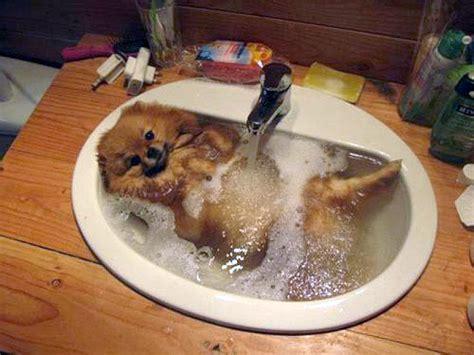 how to bathe a pomeranian pomeranian taking a relaxing sink bath