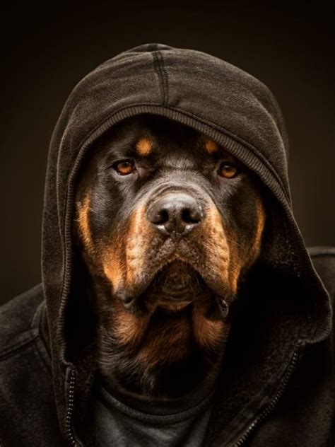 lifespan of rottweiler dogs rottie as cozy as can be rottweilers snoop dogg dogs thug pet sven buttlar