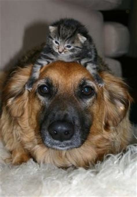 cats and dogs living together 1000 images about cat and on cuddle buddy dogs and cat