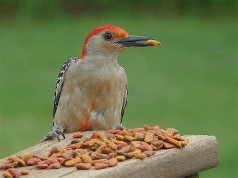 red bellied woodpecker eating cat food birds pinterest