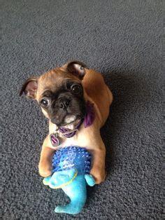 lifespan of a boston terrier pug mix 1000 ideas about bugg puppies on boston terrier pug pug mix and boston