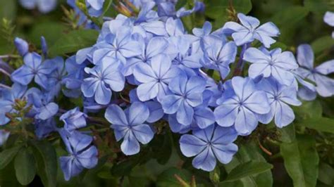 How To Design My Kitchen by Homelife Plant Guide Plumbago