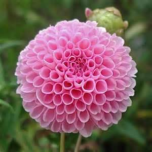 plants blooming blooming plants spectacular photos of dahlias