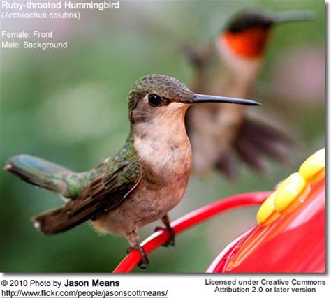 mating habits of hummingbirds 17 best ideas about ruby throated hummingbird on hummingbirds humming birds and birds