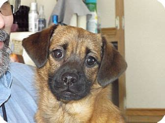 pug puppies minnesota rosemount mn pug chihuahua mix meet duke a for adoption