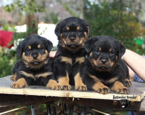 rottweiler studs near me rottweiler breeders from germany photo