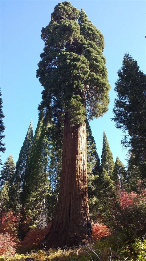methuselah sequoia tree