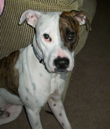 6 month pitbull puppy american pitbull terrier breed pictures 6