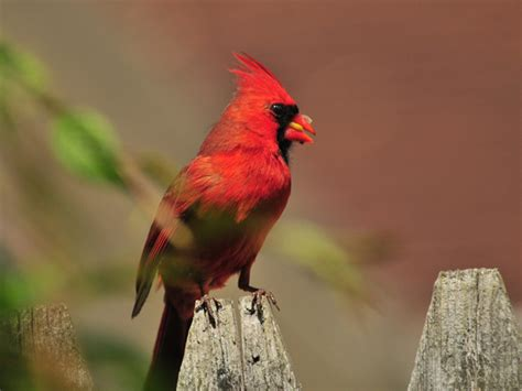 journey north robin migration