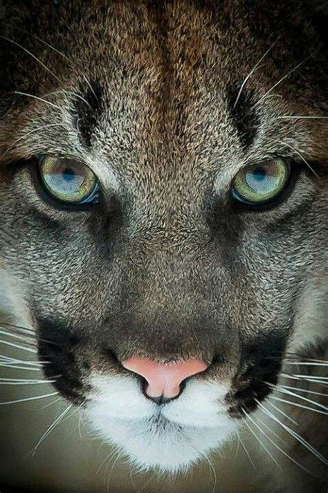 imagenes kitty pumas 17 best images about puma tattoo on pinterest panthers