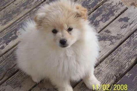pomimo puppies d 45 pomimo puppy designer dogs i