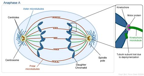 diagram of anaphase what provides the to pull chromatids apart from each