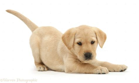 cute white cute puppy white background www pixshark com images