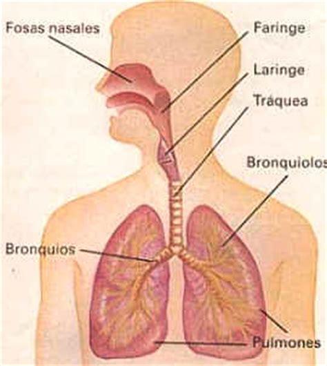 imagenes del sistema respiratorio ingles el sistema respiratorio nariz laringe faringe traquea