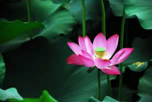 Lotus Eaters A Word A Day Lotus Eater