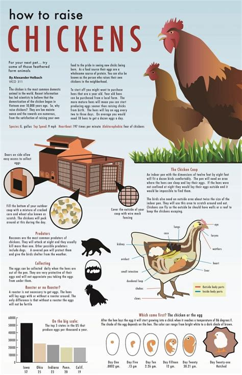 how to raise chickens in your backyard raising chickens for eggs in your backyard 28 images a