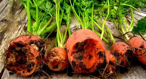 Pflanze Gegen Maulw Rfe 2045 by Pflanzen Gegen Maulwurf Euphorbia Lathyris Une Plante