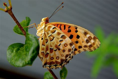has anyone died in my house free search file a argynnis butterfly in front of my house jpg wikimedia commons