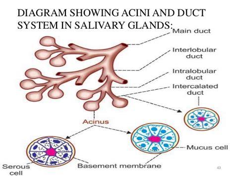 diagram of salivary glands salivary glands