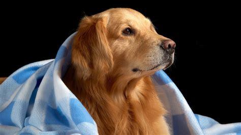 golden retriever blanket golden retriever blue blanket wallpaper for desktop 1920x1080 hd