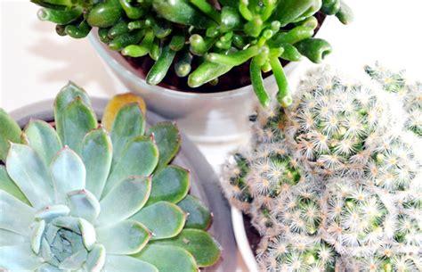 pflanzen zu hause pflanzen kakteen und succulenten f 252 r zu hause