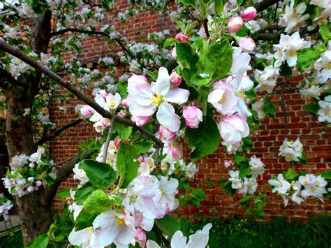 fiori di melo fiori di melo foto immagini natura foto su fotocommunity