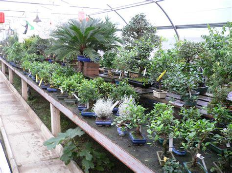 bonsai da interno lorenzi giacomo associazione arte e cultura bergamo bonsai