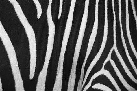 skin pattern of zebra zebra skin texture