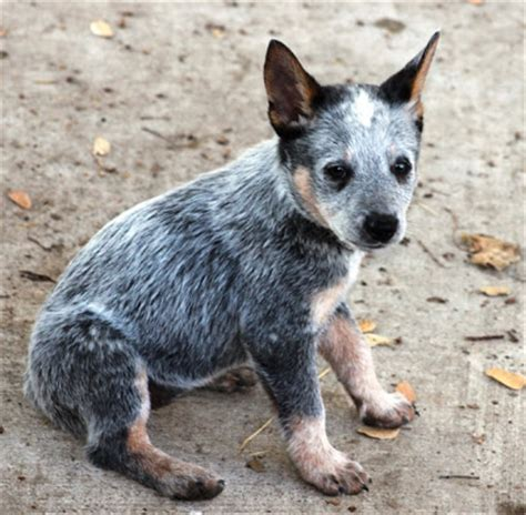 puppies for sale chico ca queensland heeler puppies for sale adoption from chico california breeds picture