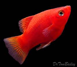 Red Platys Information Related Keywords & Suggestions   Red Platys