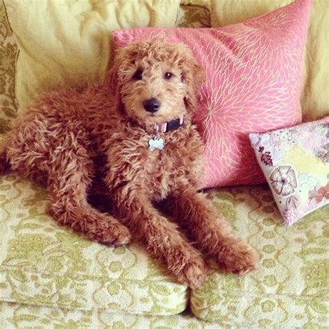 ginger doodle puppy 25 best ideas about red goldendoodle on pinterest