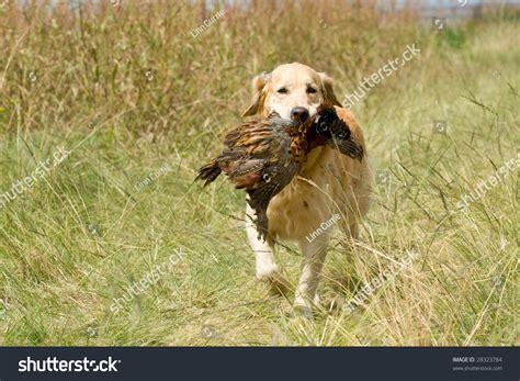 field trial golden retriever puppies field trial golden retriever assistedlivingcares