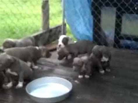 blue american staffordshire terrier puppies for sale blue american staffordshire terrier puppies for sale now
