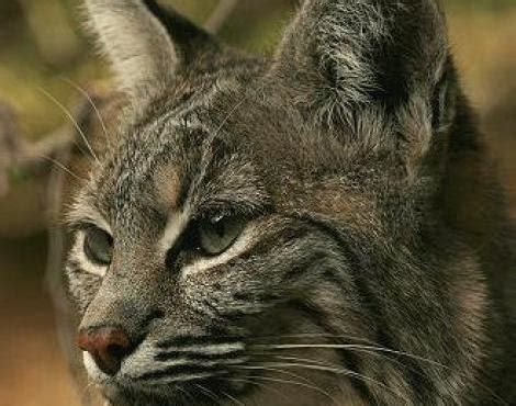 picture    bobcat lynx rufus pictures images