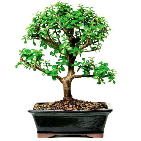 buy jade plant bonsai  years  tree