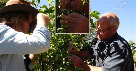 Daleys Fruit Tree Blog Top Grafting Citrus Fruit Trees