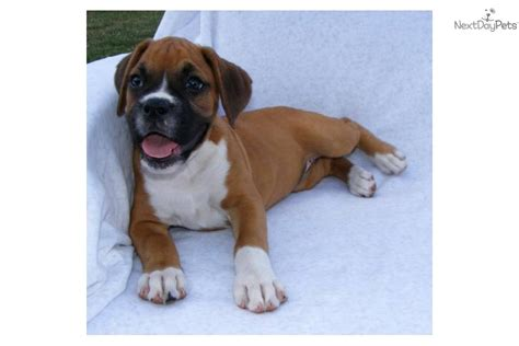 boxer puppies for sale rochester ny pomsky puppies for sale in rochester ny design breeds picture