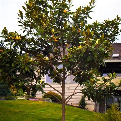 southern magnolia quot edith bogue quot for sale online the tree