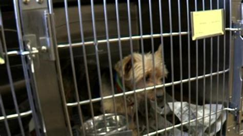 is premier pups a puppy mill more than 90 dogs rescued from puppy mill up for adoption on island 171 cbs new york