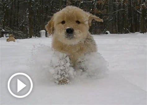 puppies in snow adorable golden retriever puppies in snow