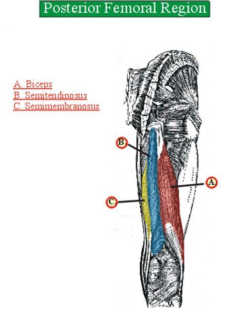 hip extensors hamstrings