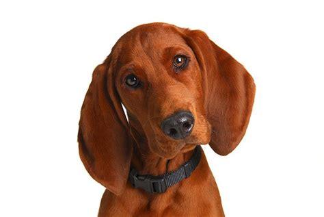 redbone puppy 25 best ideas about redbone coonhound on bone hound and hound