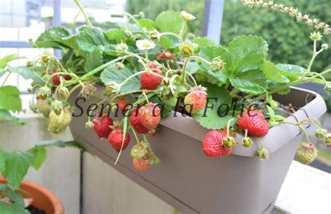cultiver le fraisier semer 224 la folie