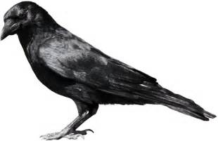 crow clipart birds and crow clip art photo crow