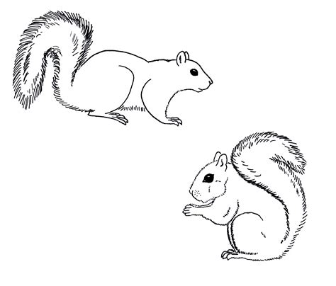 red squirrel coloring page squirrel clipart easy draw pencil and in color squirrel