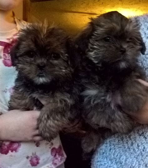 shorkie tzu puppies for sale shorkie tzu puppies for sale rossendale lancashire pets4homes