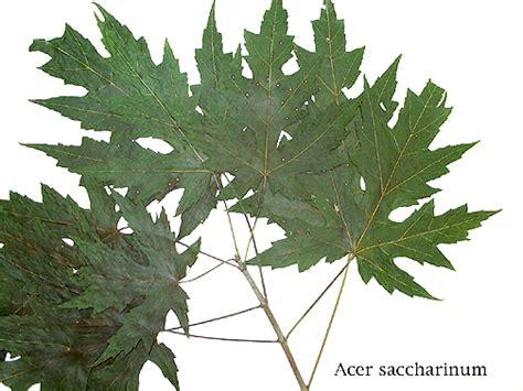 maple tree leaf arrangement tree key
